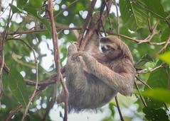 Brown-throated (three toed) Sloth (tickspics ) Tags: centralamerica osapeninsula brownthroatedsloth southernpacificlowlands bosquedelcabo costarica bradypodidae bradypusvariegatus brownthroatedthreetoedsloth golfodulce mammalia pilosa pacificcoast southpuntarenas tropicallowlandrainforest xenarthra