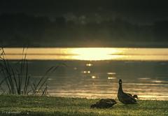 Balaton, Keszthely 06 (gergely.t.springer) Tags: nikon d3500 hungary magyarország keszthely sunrise duck nature animals goldenbridge iambusted busted lookingatyou staring