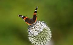 Red Admiral var Bialbata. (dave p brecks) Tags: butterflies redadmiral panasonicdmcg80 olympus75300butterfly