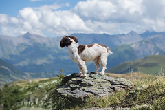 Viewing the mountains (The Papa'razzi of dogs) Tags: zigzag spaniel landscape pet nature dog outdoor mountains hund cocker animal saintsorlindarves savoie france croixdefer coldefer