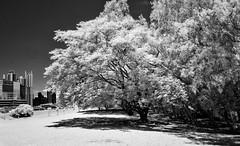 Costa del Este, Panama (Bernai Velarde-Light Seeker) Tags: trees costadeleste panama urban park monochrome blackandwhite bernai velarde central america