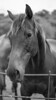 Local Horse (bencarterbrown) Tags: 50mm fujifilm animal 19 xfujinon black white vintage lens