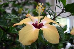 CCF19 462 (Donna's View) Tags: nikon d3300 clallamcountyfair countyfair fair fairgrounds hibiscus floralexhibit