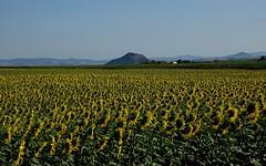 Une armée de tournesols.. (Bangui59) Tags: tournesols sunflowers plantes fleurs allier