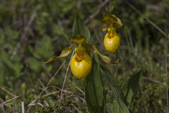 Cypripedium parviflorum var pubescens (ab_orchid) Tags: native orchid species cypripedium parviflorum pubescens ontario alberta nativeorchidconference 2019