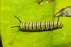 Monarch Caterpillar, Danaus plexippus (3) (Herman Giethoorn) Tags: monarch caterpillar larva insect