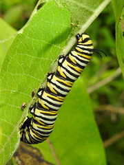 Monarch Caterpillar, Danaus plexippus (1) (Herman Giethoorn) Tags: monarch caterpillar larva insect