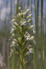 Platanthera leucophaea (ab_orchid) Tags: native orchid species ontario platanthera leucophaea rare