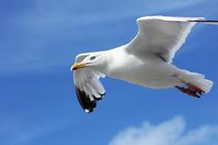 2096 LIBRE COMME L'AIR (rustinejean) Tags: rustine animal nature mouette goelan ciel sky liberte bleu blue blanc bec ailes