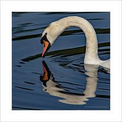 Swan face off (prendergasttony) Tags: swan nikon d7200 avian bird wildlife water wings wild rspb reflection elements nature northwest facetoface