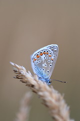 Little blue (Kaïyah) Tags: butterfly lepidoptera insect argus papillon blue field wildlife macro proxiphotography ardennes