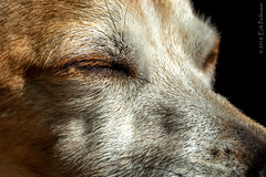 Warm sun ecstasy (GoodLifeErik) Tags: morning pet brown sunlight macro dogs sunshine fur eyes closed headshot whiskers snout oly rescuedog chihuahuaterriermix whorescuedwho macromondays