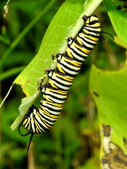 Monarch Caterpillar, Danaus plexippus (2) (Herman Giethoorn) Tags: monarch caterpillar larva insect