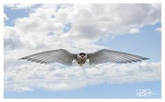 B57I2806-Arctic-Tern,-Sterna-paradisaea (duncancooke.happydayz) Tags: arctic tern farne islands british wildlife uk sea birds bird birdperfect birdlife sterna paradisaea red eye terns long nanny northumberland north east national trust reserve