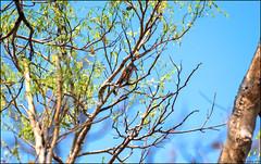 Rosy Minivet (Pericrocotus roseus) (Steve Arena) Tags: maepingnationalpark lamphun thailand thailandbirding2019 nikon bird birds birding lidistrict rosyminivet pericrocotusroseus