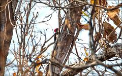 White-bellied Woodpecker (Dryocopus javensis) (Steve Arena) Tags: maepingnationalpark lamphun thailand thailandbirding2019 nikon bird birds birding lidistrict whitebelliedwoodpecker dryocopusjavensis