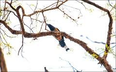 Rufous Treepie (Dendrocitta vagabunda) (Steve Arena) Tags: maepingnationalpark lamphun thailand thailandbirding2019 nikon bird birds birding lidistrict rufoustreepie dendrocittavagabunda