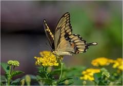 Giant Swallowtail (Summerside90) Tags: butterflies insects giantswallowtail august summer backyard garden lantana nature wildlife ontario canada