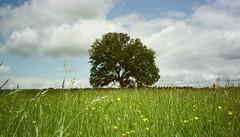 Worm's Eye Tree (uncoolbob) Tags: film expired aps kodakadvantix400 canonixusiii tree field wildflowers 169 wormseye chinscraper