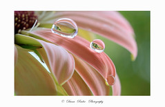 zarte Tropfen (Diana Ruder Photography) Tags: drop wasser reflexion dianaruder flower floral detail gerbera tropfen beautiful delicat lovely macro colorful waterdrop water blooming blossom