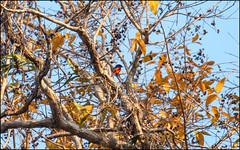 Scarlet Minivet (Pericrocotus speciosus) (Steve Arena) Tags: maepingnationalpark lamphun thailand thailandbirding2019 nikon bird birds birding lidistrict scarletminivet pericrocotusspeciosus