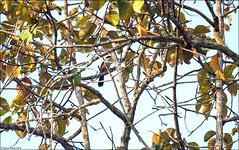 White-crested Laughingthrush (Garrulax leucolophus) (Steve Arena) Tags: maepingnationalpark lamphun thailand thailandbirding2019 nikon bird birds birding lidistrict whitecrestedlaughingthrush garrulaxleucolophus