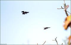 White-crested Laughingthrush (Garrulax leucolophus) (Steve Arena) Tags: bird birds thailand nikon birding lamphun whitecrestedlaughingthrush garrulaxleucolophus maepingnationalpark thailandbirding2019 lidistrict
