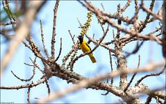 Black-hooded Oriole (Oriolus xanthornus) (Steve Arena) Tags: maepingnationalpark lamphun thailand thailandbirding2019 nikon bird birds birding lidistrict blackhoodedoriole oriolusxanthornus