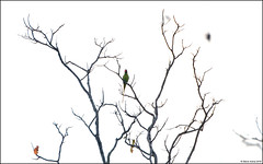 Gray-headed Parakeet (Psittacula finschii) (Steve Arena) Tags: maepingnationalpark lamphun thailand thailandbirding2019 nikon bird birds birding lidistrict grayheadedparakeet psittaculafinschii