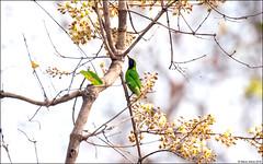 Golden-fronted Leafbird (Chloropsis aurifrons) (Steve Arena) Tags: maepingnationalpark lamphun thailand thailandbirding2019 nikon bird birds birding lidistrict goldenfrontedleafbird chloropsisaurifrons