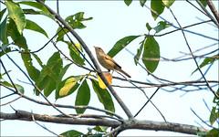 Warbler sp. (Steve Arena) Tags: maepingnationalpark lamphun thailand thailandbirding2019 nikon bird birds birding lidistrict