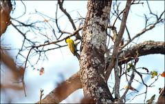 Black-headed Woodpecker (Picus erythropygius) (Steve Arena) Tags: maepingnationalpark lamphun thailand thailandbirding2019 nikon bird birds birding lidistrict blackheadedwoodpecker picuserythropygius
