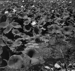 Lotus in Horseshoe Lake (rlboston2009) Tags: granitecity horseshoelake il illinois lotus bloom bw film 120 monobath cinestill