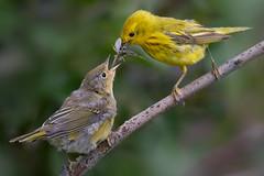 Yellow Warbler Feeding Fledgling (kdee64) Tags: yellowwarbler fledgling dendroicapetechia male migratorybird july whitehorse yukon northerncanada