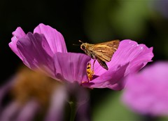 Look who I found in the Cosmos! A Fiery Skipper. (barbara robeson) Tags: barbararobeson danvillecalifornia butterfly fieryskipper pink cosmos