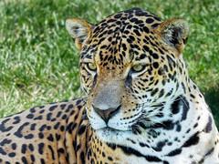 Jaguar (Daniel Lebarbé) Tags: zoodegranby cat chat carnivore prédateur jungle predator carnivorous félin jaguar amériquedusud southamerica amazonie amazon