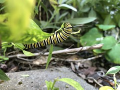 Monarch caterpillar (ladybugdiscovery) Tags: caterpillar butterfly monarch milkweed garden