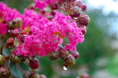 Crepe Myrtle And Raindrops. (dccradio) Tags: lumberton nc northcarolina robesoncounty outdoor outdoors outside nature natural august summer summertime saturday saturdayevening evening goodevening nikon d40 dslr crepemyrtle crapemyrtle flowering flower flowers plant floral bloom blooms blooming blossom blossoms blossoming