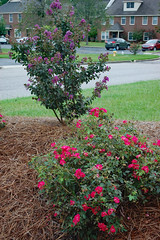Crepe Myrtle And Roses. (dccradio) Tags: lumberton nc northcarolina robesoncounty outdoor outdoors outside nature natural august summer summertime saturday saturdayevening evening goodevening nikon d40 dslr crepemyrtle crapemyrtle flowering flower flowers plant floral bloom blooms blooming blossom blossoms blossoming leaf leaves foliage summerfoliage