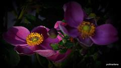 2019-08-177  pink Japanese anemone, artwork (profmarilena) Tags: profmarilena artwork pinkjapaneseanemone macro