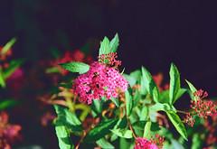 Pink Flower (Bephep2010) Tags: 2019 blume blüte lomography lomographycolornegative400 olympus olympusafzoom35180mm145156 olympusis3 olympusis3000 photoexif schweiz solothurn sommer switzerland analog analogue blossom flower pink rosa summer kantonsolothurn