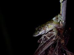 Boulenger's Snouted Treefrog (danglasspool) Tags: treefrog frog snouted snoutedtreefrog amphibian herptile green brown night dark wildlife animal animals nature costarica centralamerica rainforest jungle nikon d3300 nikond3300 explorerdan danglasspool