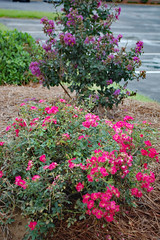 Rose Bush And Crepe Myrtle. (dccradio) Tags: lumberton nc northcarolina robesoncounty outdoor outdoors outside nature natural august summer summertime saturday saturdayevening evening goodevening nikon d40 dslr crepemyrtle crapemyrtle flowering flower flowers plant floral bloom blooms blooming blossom blossoms blossoming leaf leaves foliage summerfoliage