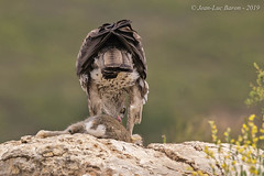 Bonelli's Eagle (Aquila fasciata) (Jeluba) Tags: 2019 aigledebonelli aquilafasciata bonelliseagle canon espqgne habichtsadler jeanlucbaron jeluba spain aves bird birdwatching nature oiseau ornithology wildlife birdofprey raptor rapace feeding prey