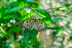 Paper Kite butterfly - Penang (Peter.Stokes) Tags: boats buildings colour cruise2019 landscape landscapes outdoors photo photography sky vacations water butterfly penang entopiabypenangbutterflyfarm black white