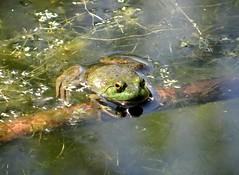 Saturday's frog (EcoSnake) Tags: americanbullfrog lithobatescatesbeiana frogs amphibians august summer water wildlife idahofishandgame naturecenter