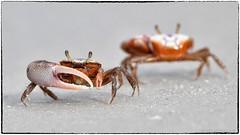 Fiddler crab (EXPLORE,  Aug 18, 2019, #18) (RKop) Tags: crab fortdesotostatepark florida raphaelkopanphotography d500 600mmf4evr fiddlercrab