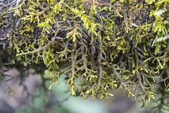 Porella navicularis, Tree Ruffle Liverwort (male?) (Stuart T. Wilson) Tags: porellanavicularis liverwort olympicpeninsula treeruffleliverwort