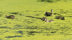 P1130283 (David J. Thomas) Tags: albany oregon talkingwatergardens waterreclamation watertreatment artificialwetland travel vacation family