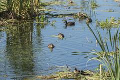 P1130256 (David J. Thomas) Tags: albany oregon talkingwatergardens waterreclamation watertreatment artificialwetland travel vacation family